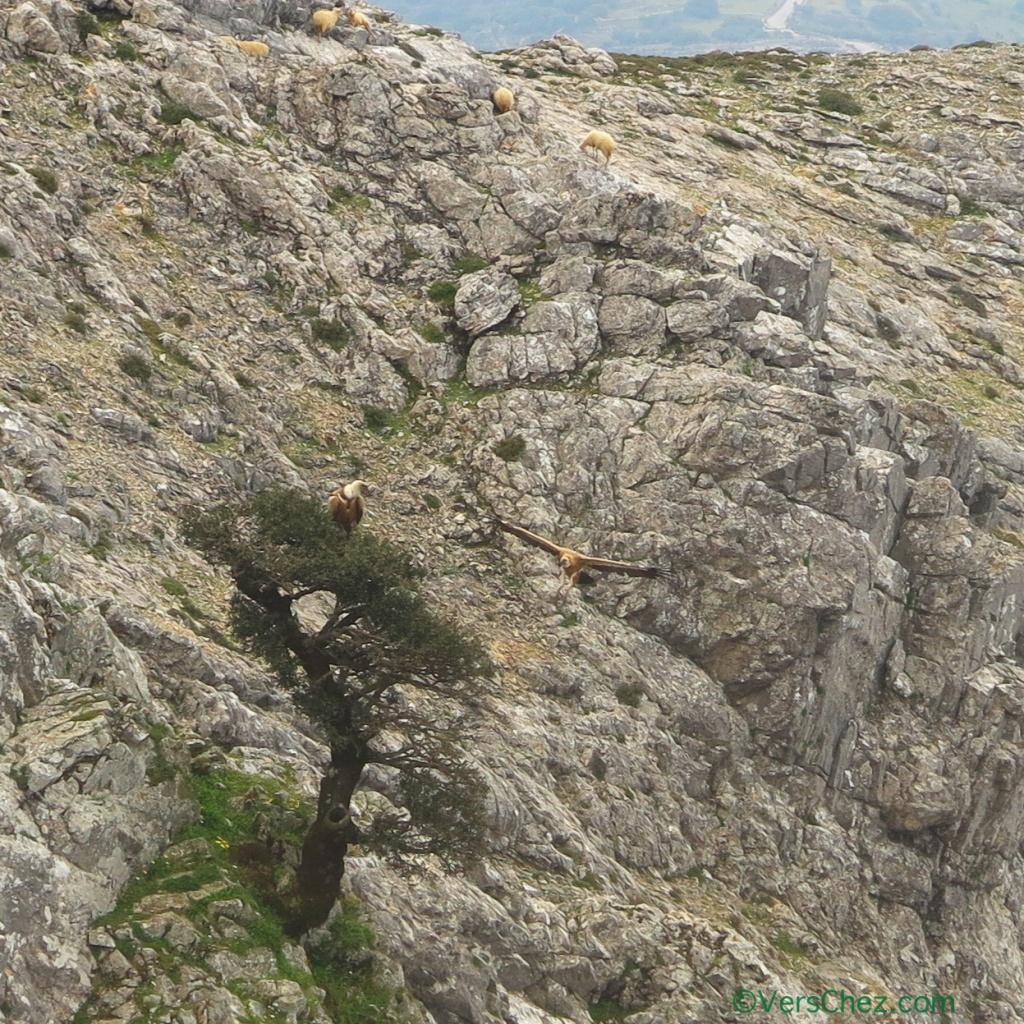 vautours-moutons