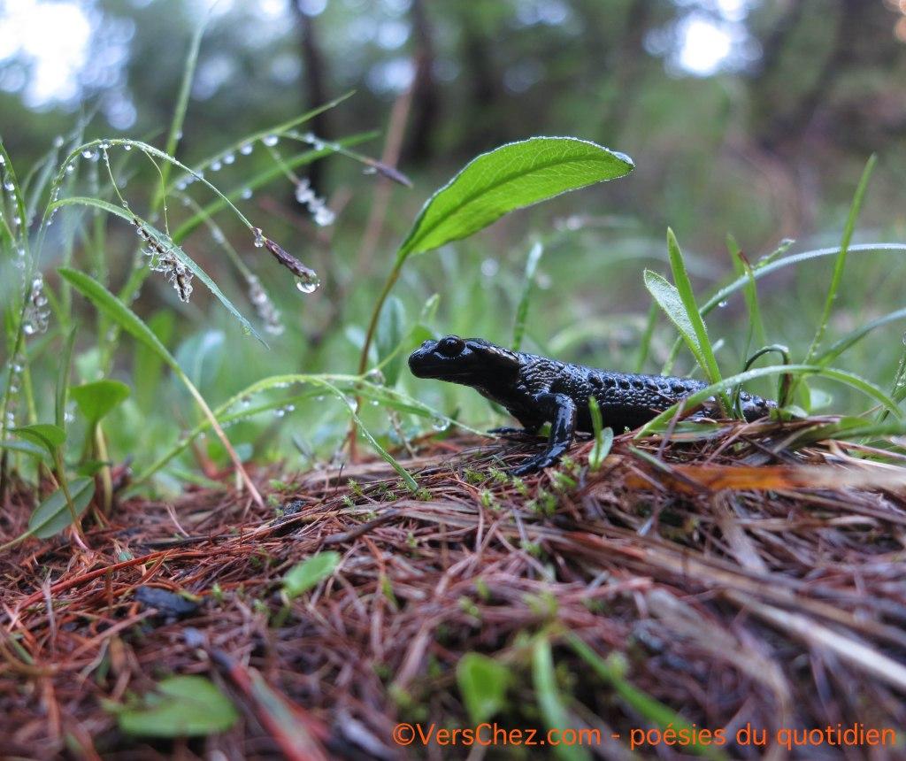 salamandre-noire-haiku