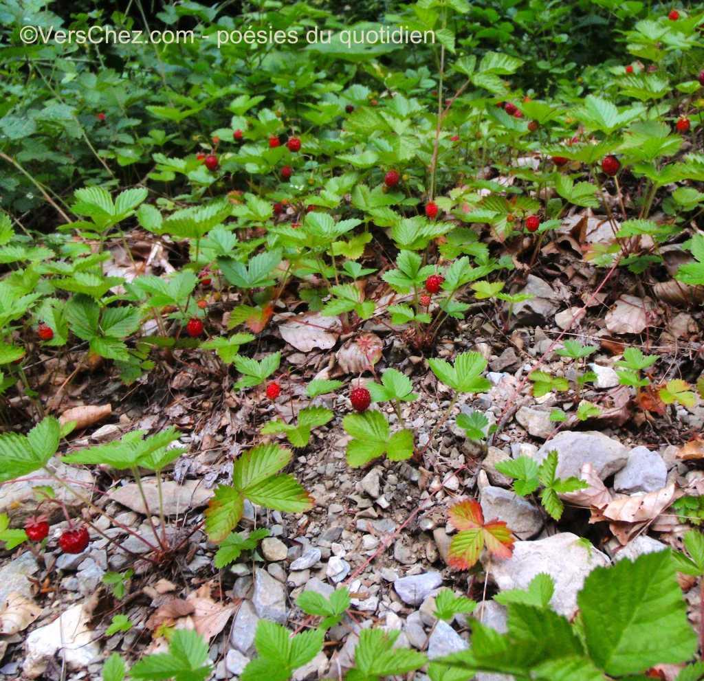 fraises des bois poésie haiku