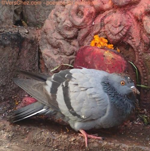 pigeon offrande haiku patan