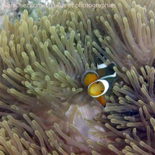 poisson clown nemo