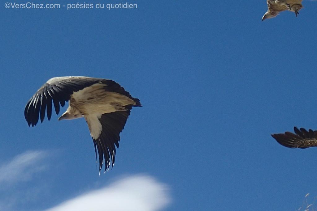 griffon haiku himalaya vautour
