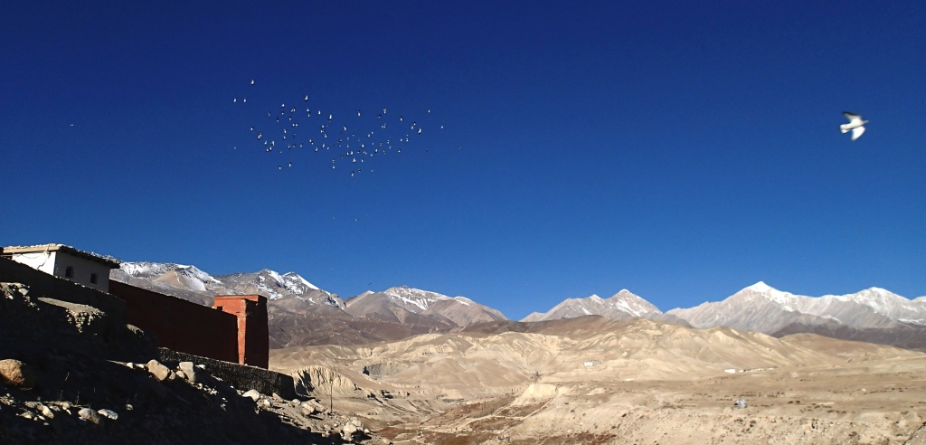 Lo Mantang pigeons oiseaux