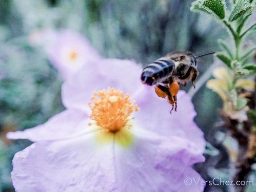 poesie-abeille-pollen-cyste