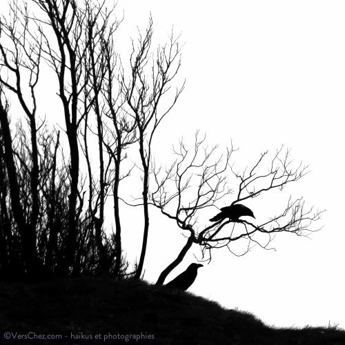 haiku-corbeau-corvus-poesie-©VersChez