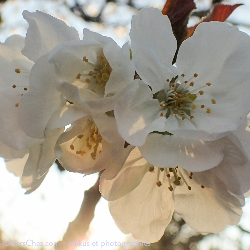 cerisier-haiku-printemps-blanc-VersChez