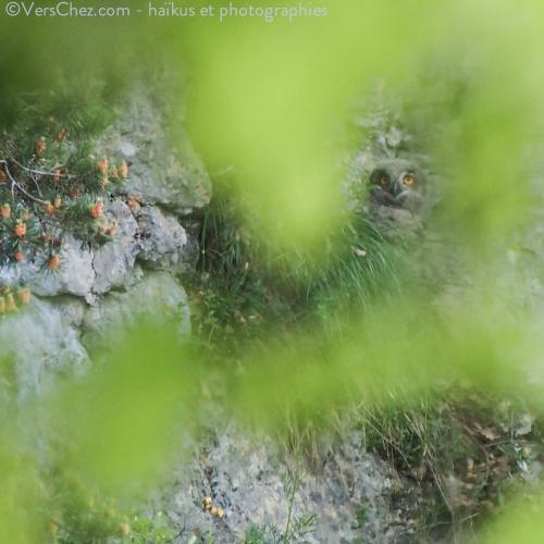 hibou-haiku-grand-duc-falaise©VersChez