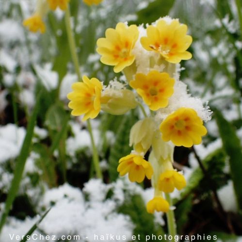 primula-neige-annecy