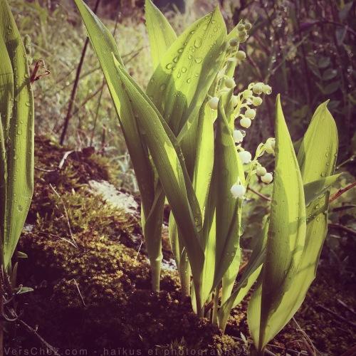 muguet-haiku-mai-jardin