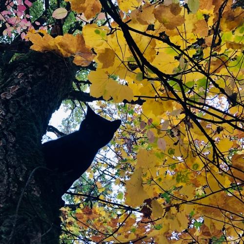 Chat noir dans l'arbre d'automne pour un haiku